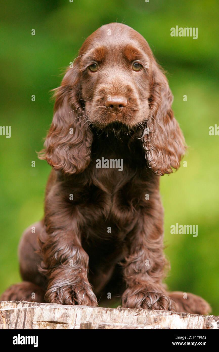 english cocker spaniel brown puppy sitting tree stump germany stock