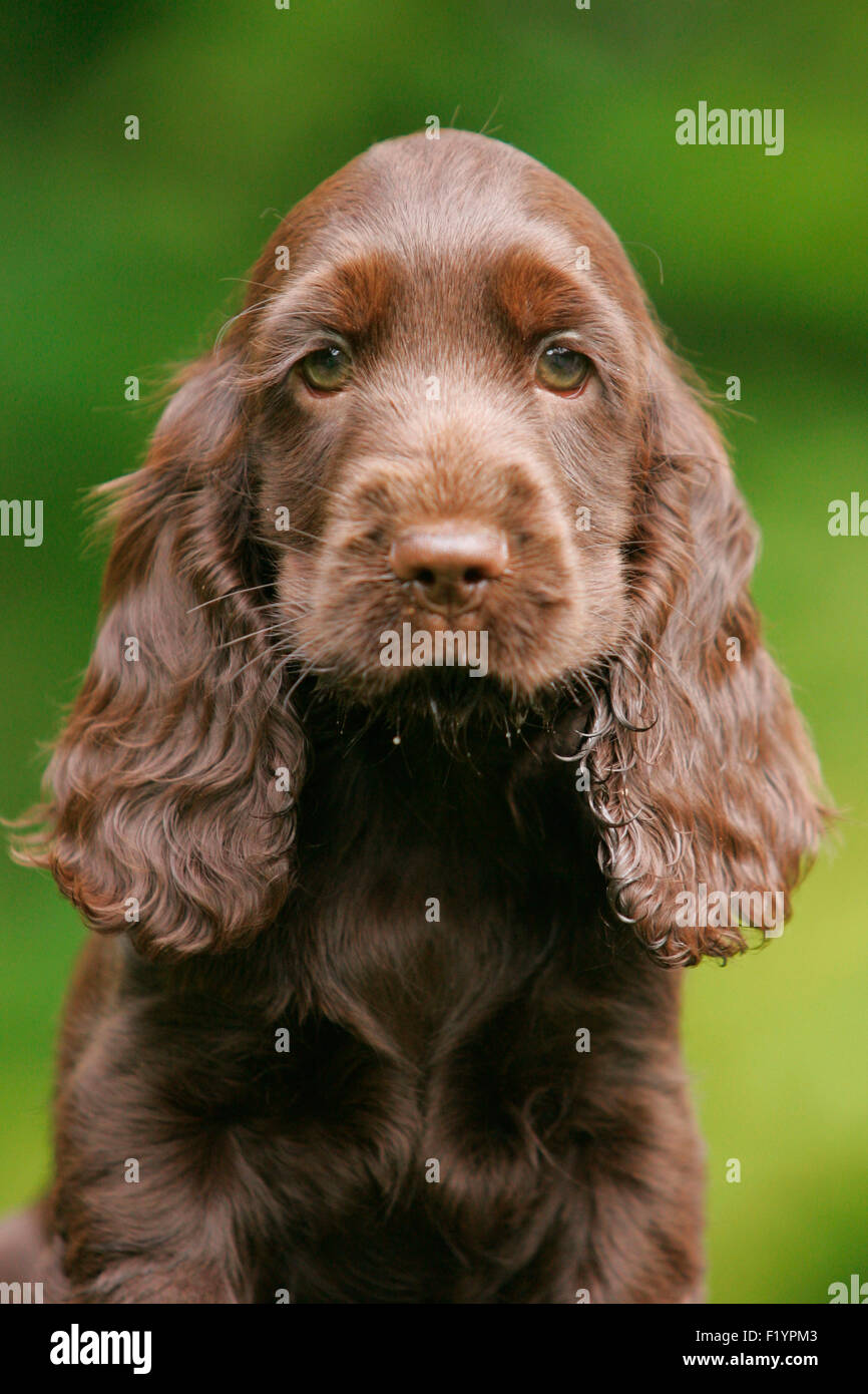 English Cocker Spaniel Portrait of brown puppy Germany - Stock Image