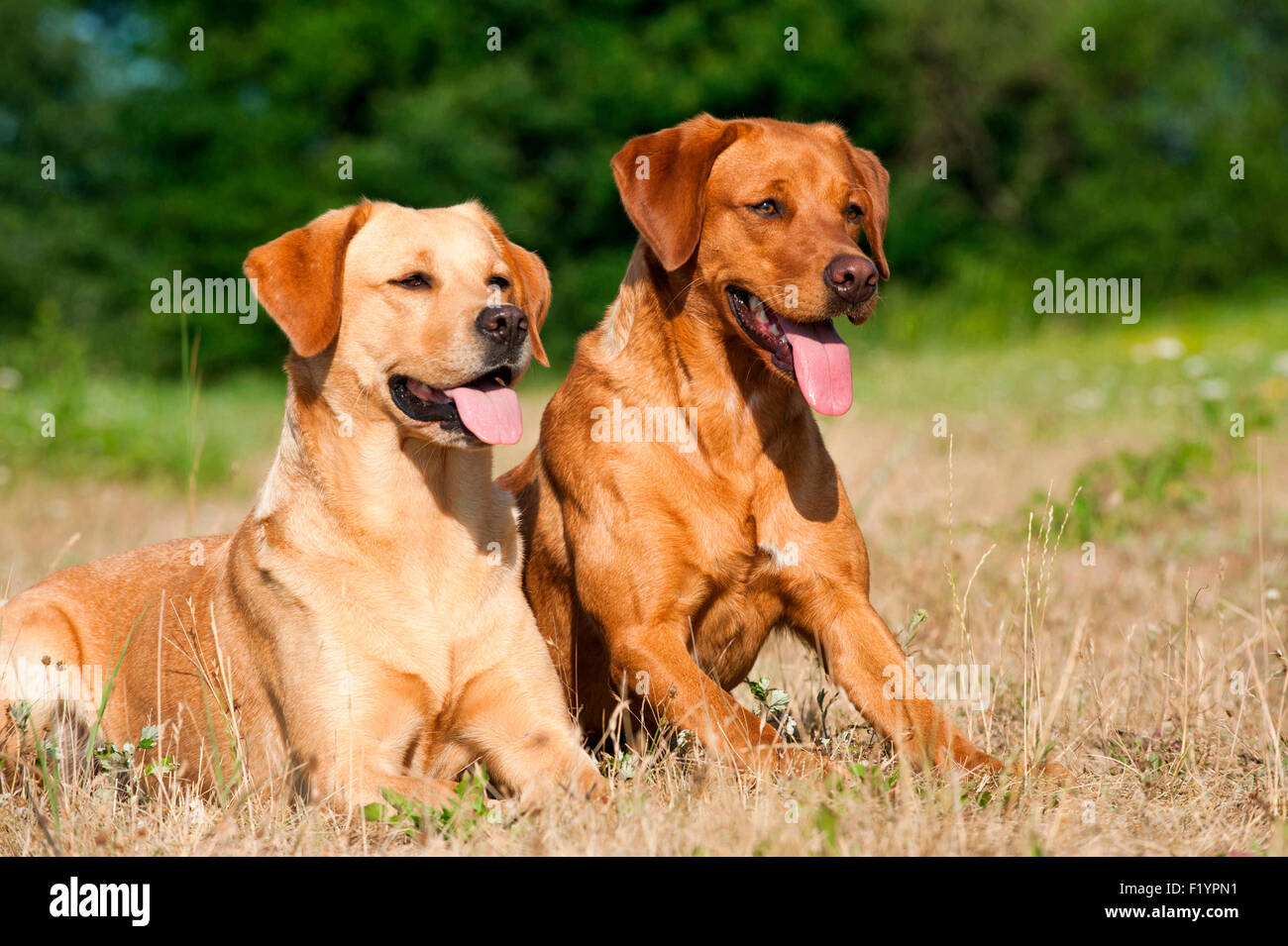 Labrador Retriever Two adults meadow panting Germany - Stock Image