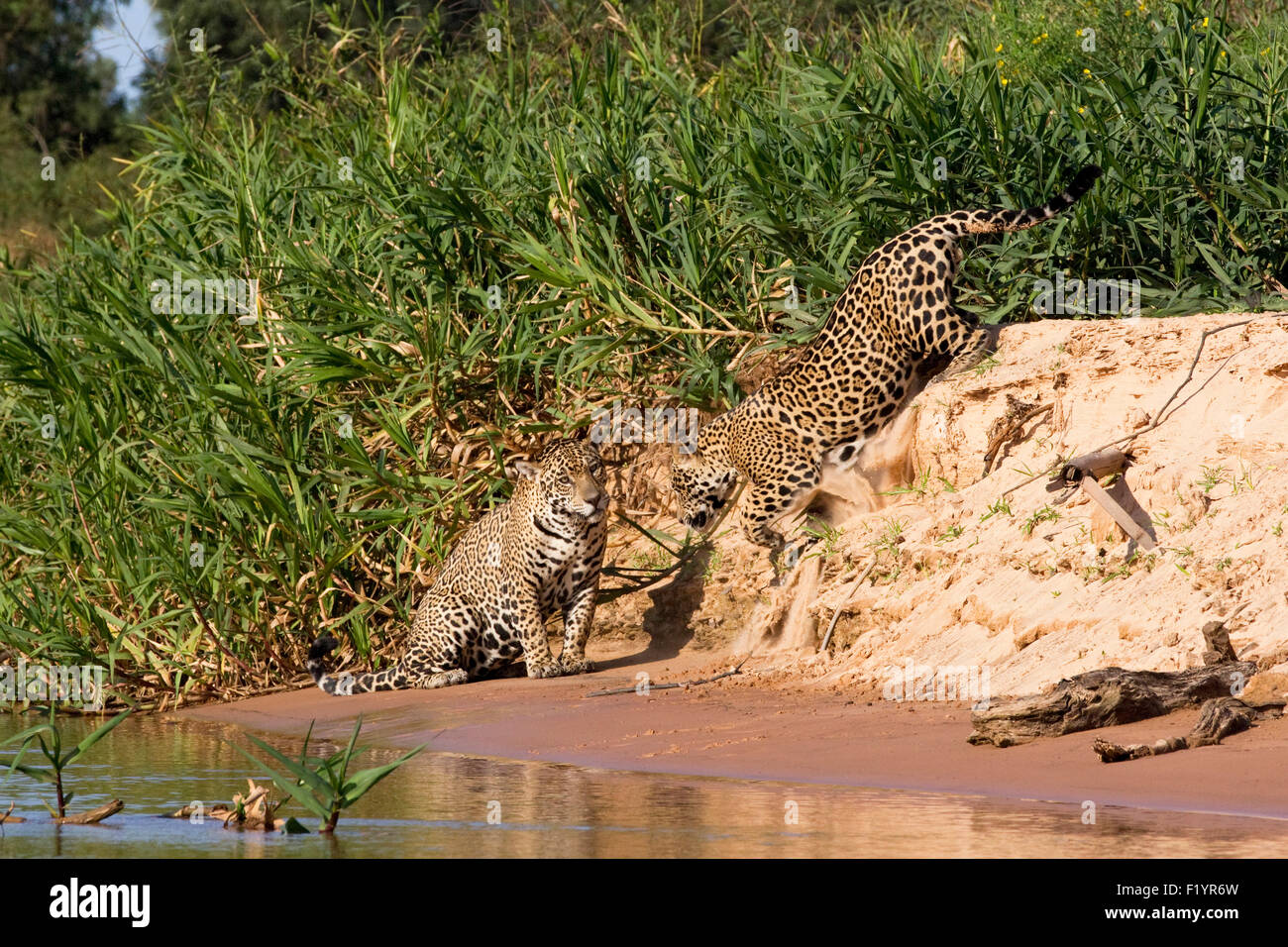 Jaguar (Panthera onca) Couple riverbank Pantanal Brazil - Stock Image