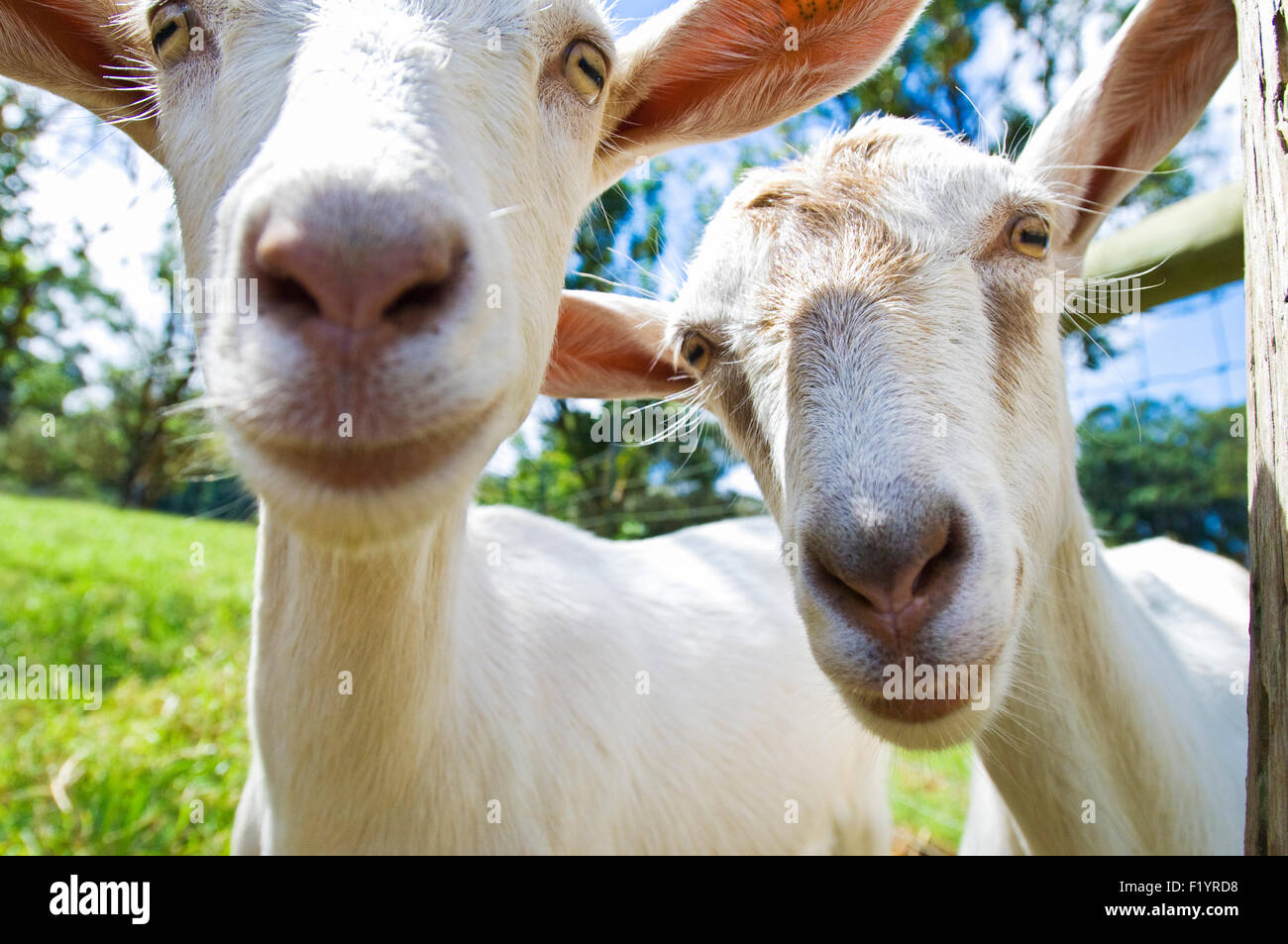 Curious goats on the Hawaii Island Goat Dairy cheese farm in Hawaii - Stock Image