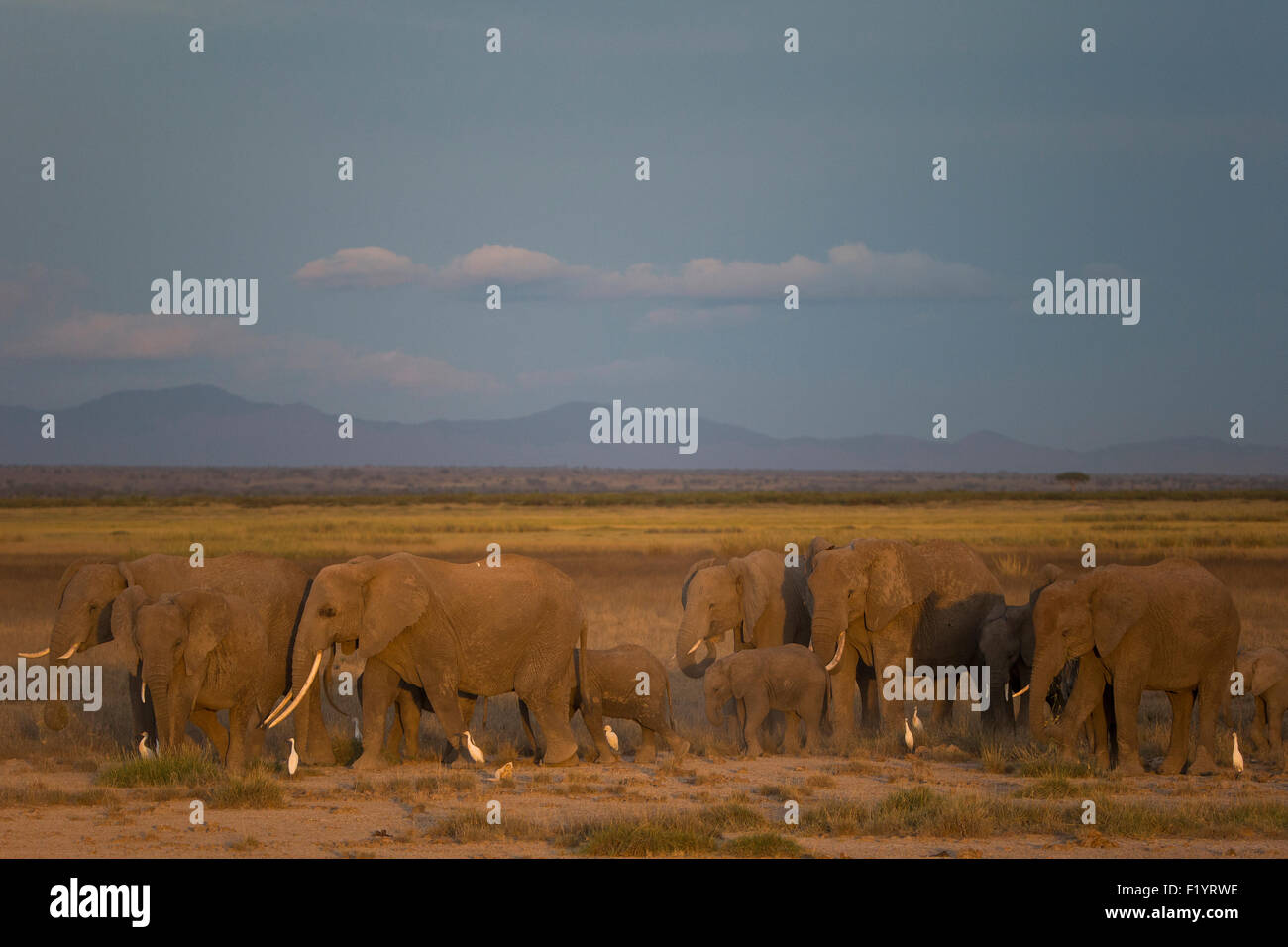 African Elephant (Loxodonta africana) Herd grazing at Amboseli National Park Kenya - Stock Image