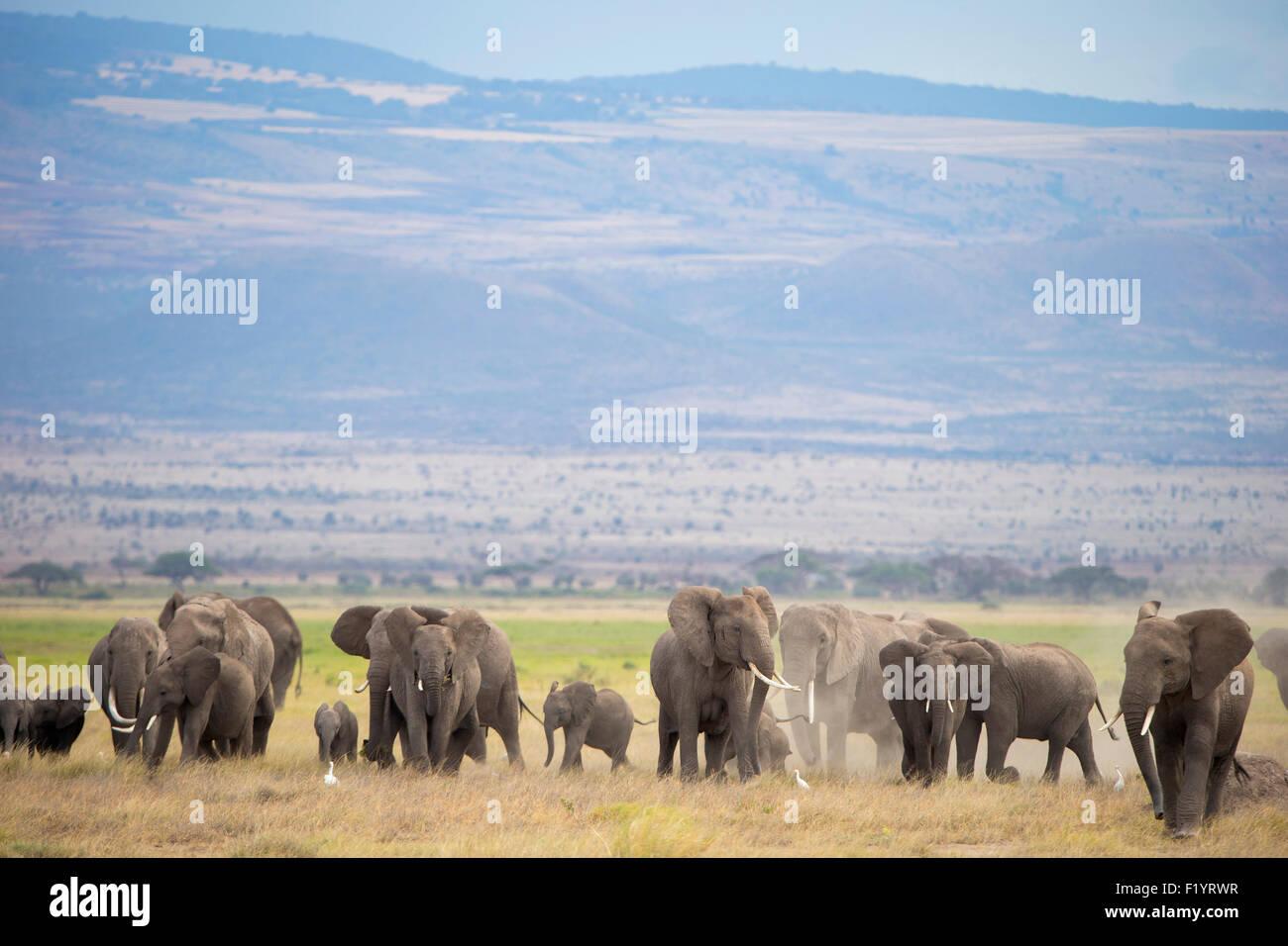 African Elephant (Loxodonta africana) Herd at Amboseli National Park Kenya - Stock Image
