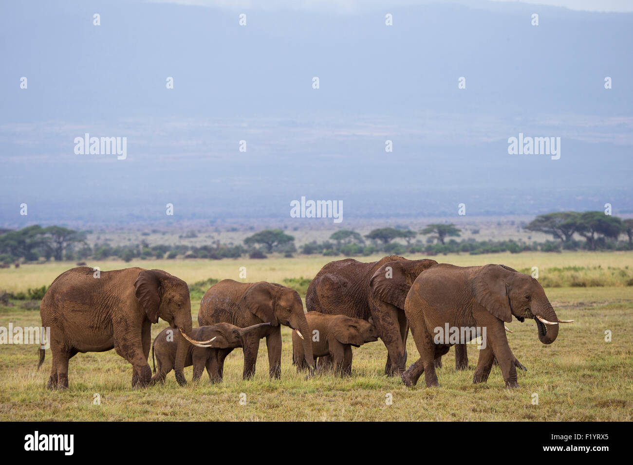 African Elephant (Loxodonta africana) Family foraging at Amboseli National Park Kenya - Stock Image