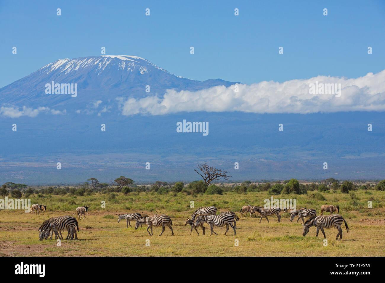 Zebra (Equus quagga) herd of plains zebra grazing beneath Mt Kilimanjaro Amboseli National Park Kenya - Stock Image