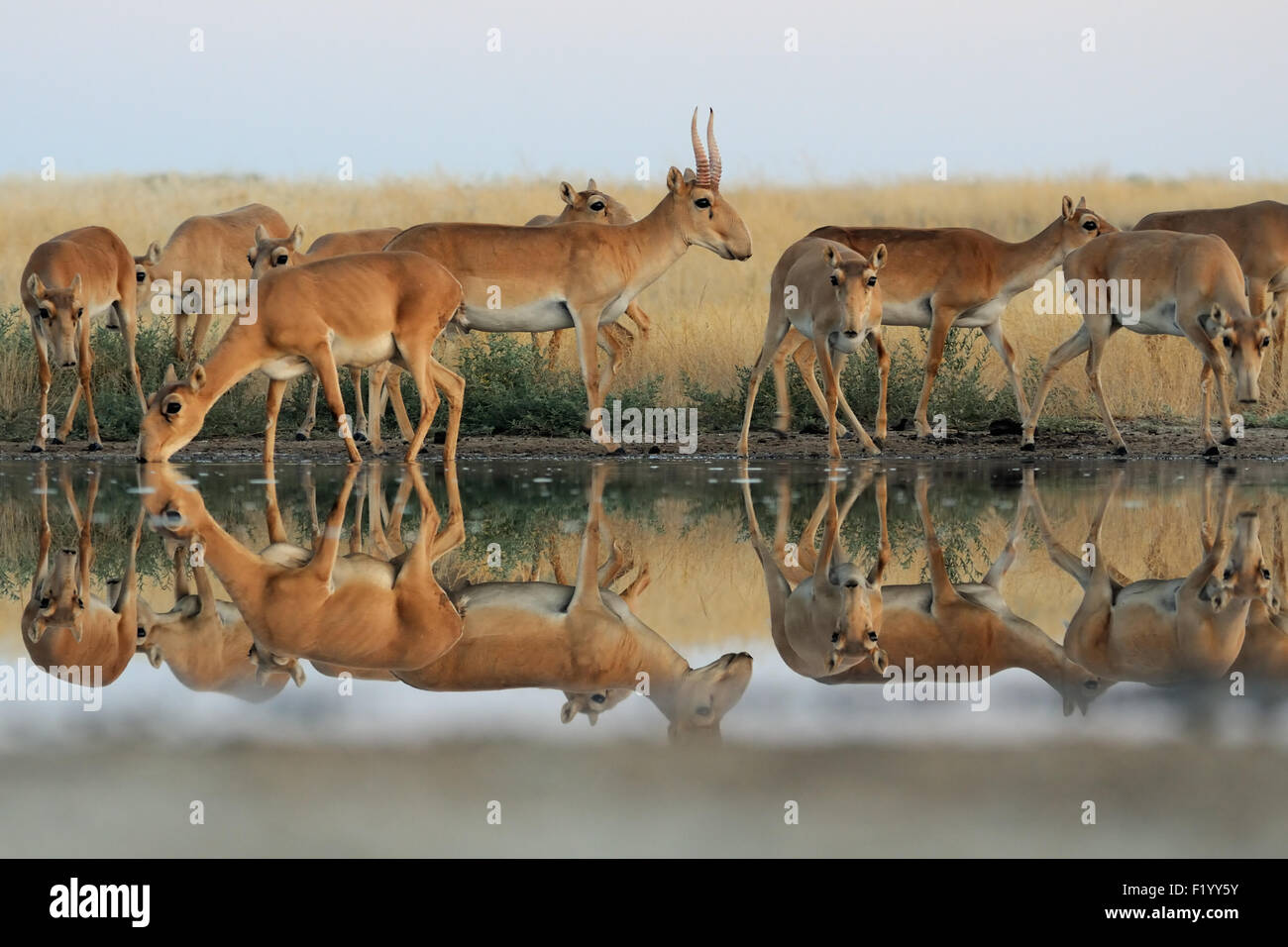 Wild Saiga antelopes at watering in morning steppe - Stock Image