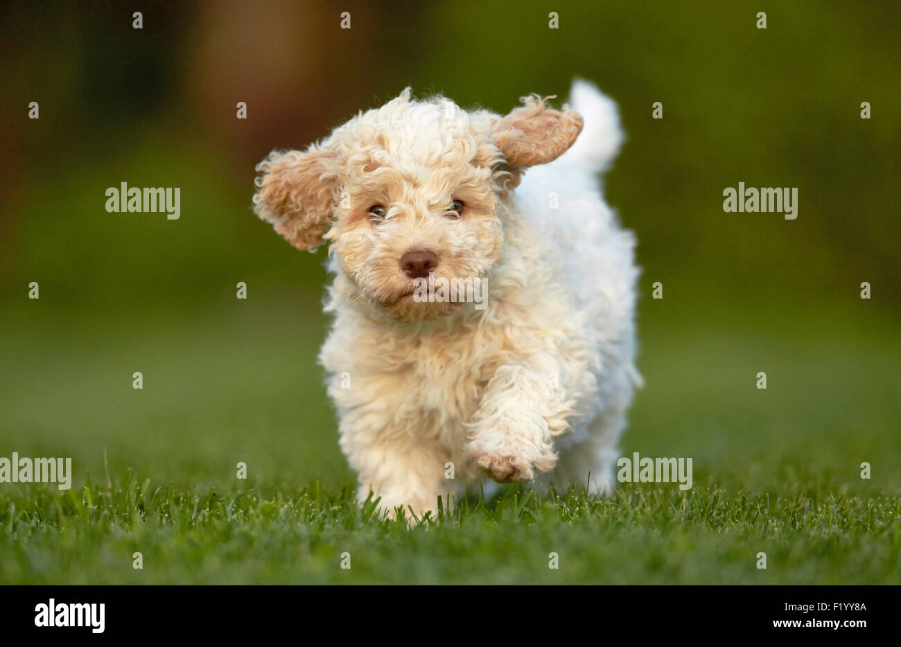 lagotto romagnolo puppy running lawn germany stock photo 87280602