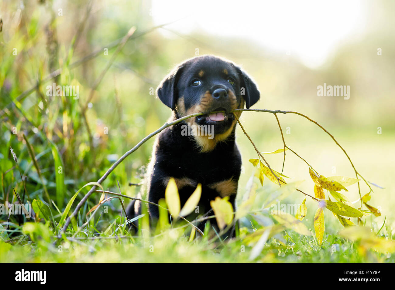 Rottweiler Puppy pulling at twig Germany - Stock Image