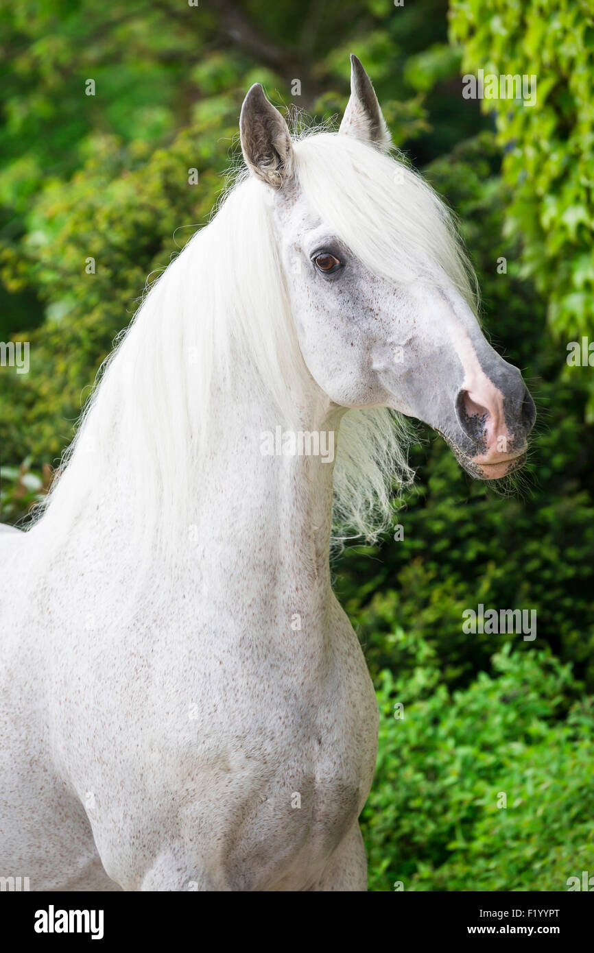 Alter Real Portrait of gray stallion Germany - Stock Image