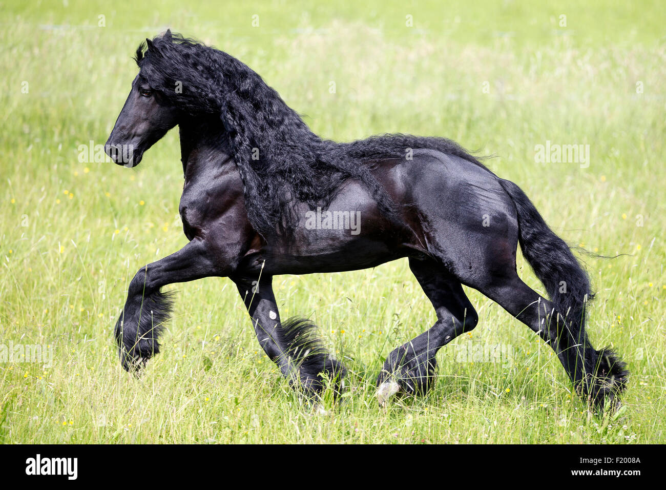 Frisian Horse Black stallion trotting pasture Germany Stock Photo