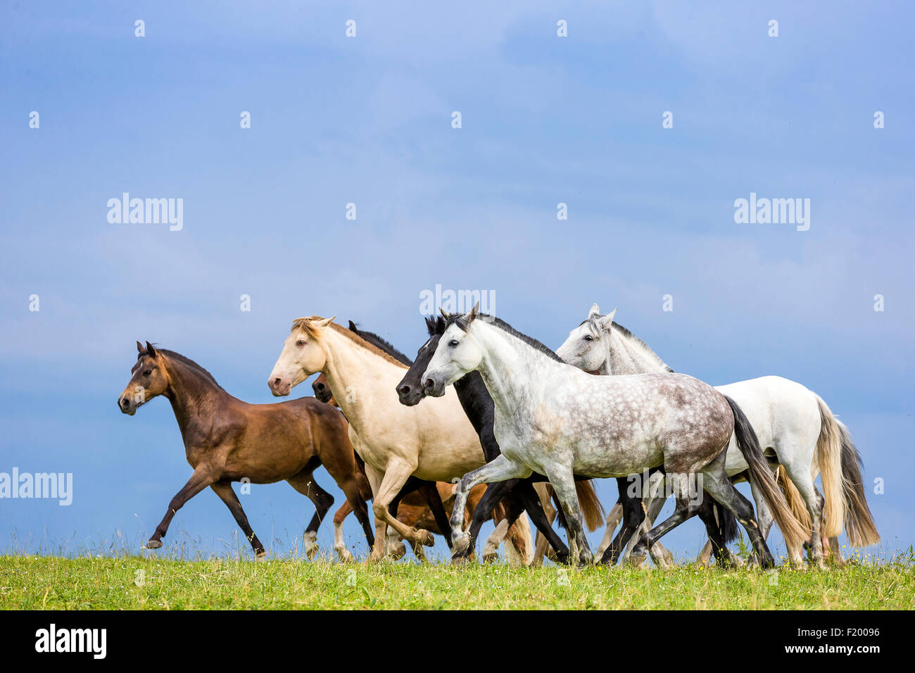 Domestic horse Mixed herd of different breeds trtting pasture Germany - Stock Image