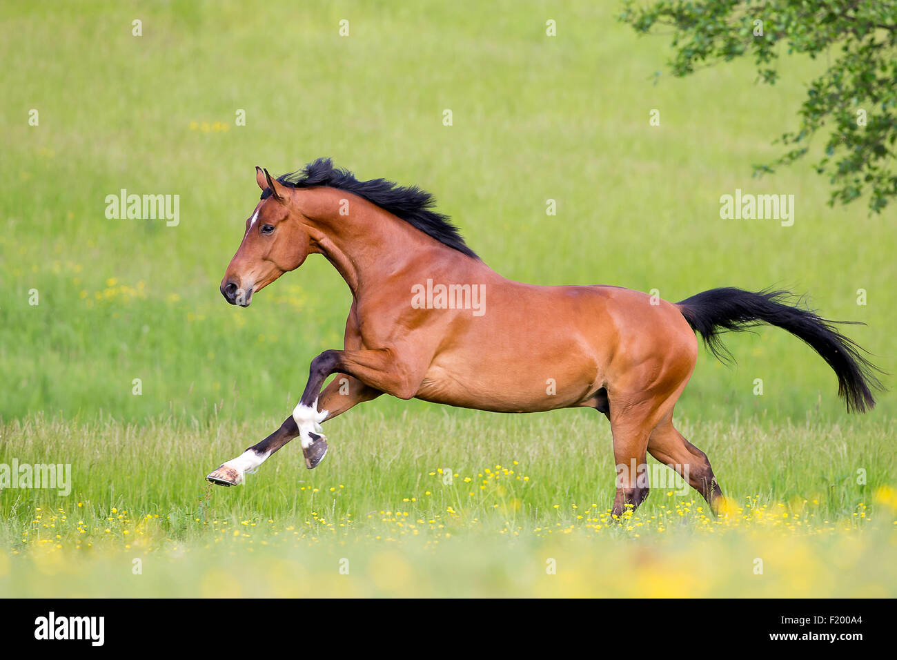 Oldenburg Horse Bay gelding galloping pasture Germany - Stock Image