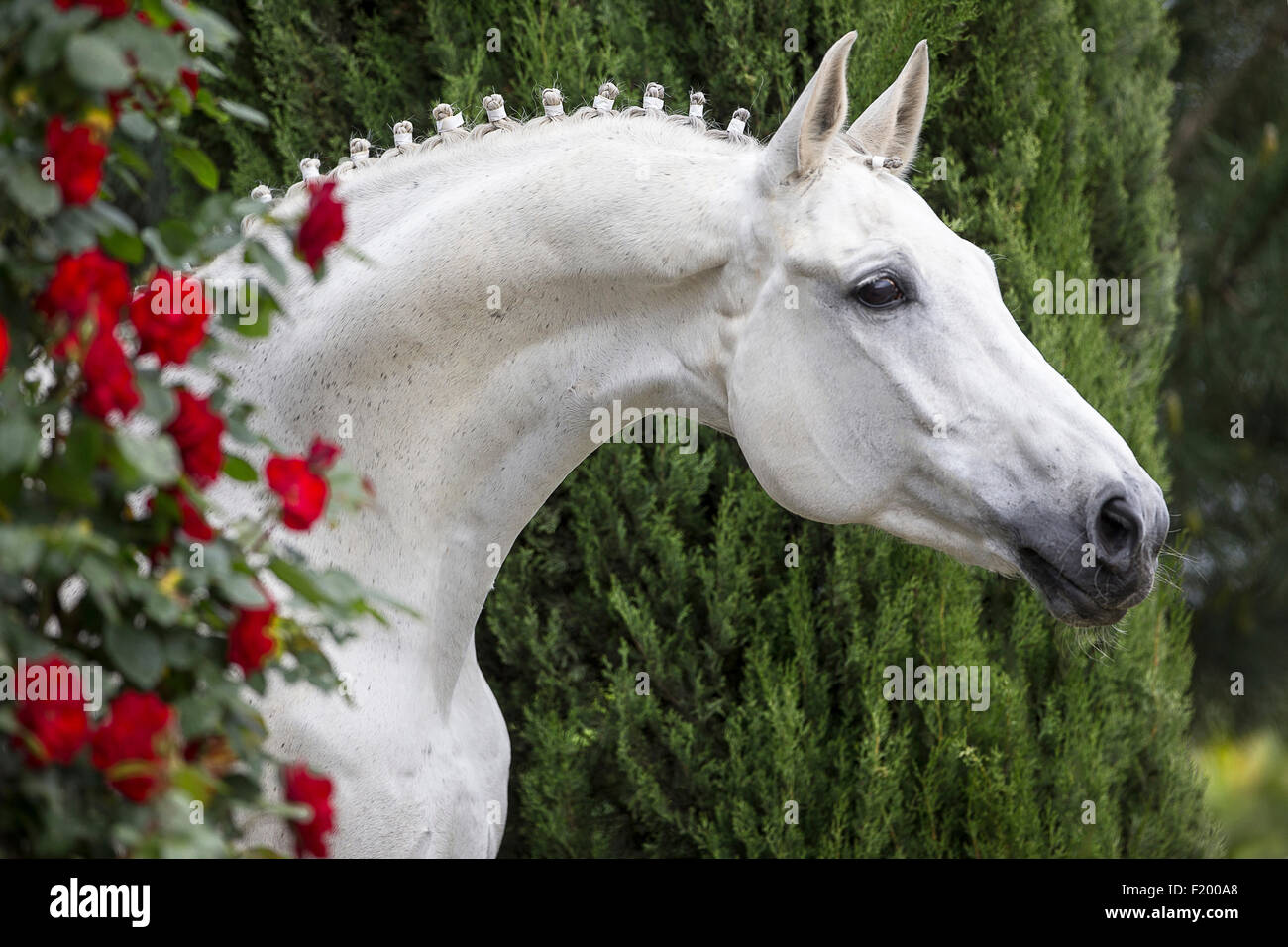Watch - Oldenburg White horse pictures video