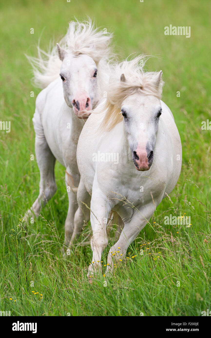 Welsh Mountain Pony Section Gray stallion chasing mare Germany - Stock Image