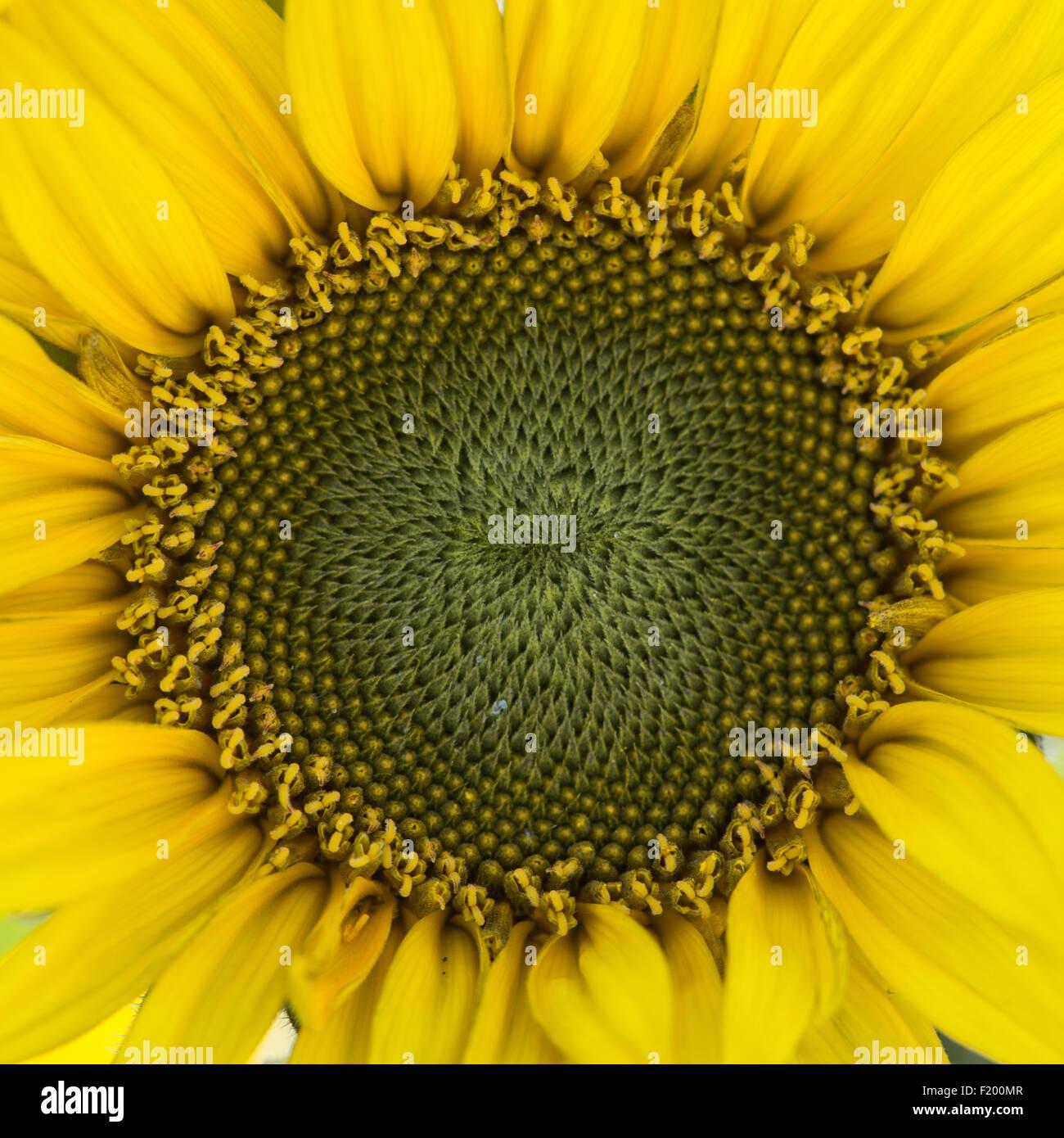 Sunflower: Helianthus annuus 'Munchkin' - Stock Image