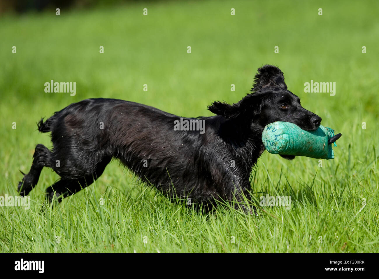 english cocker spaniel with dummy - Stock Image
