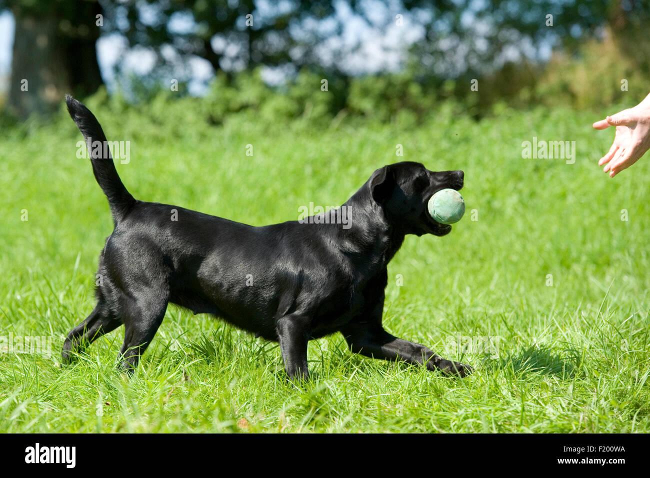 dog training - Stock Image