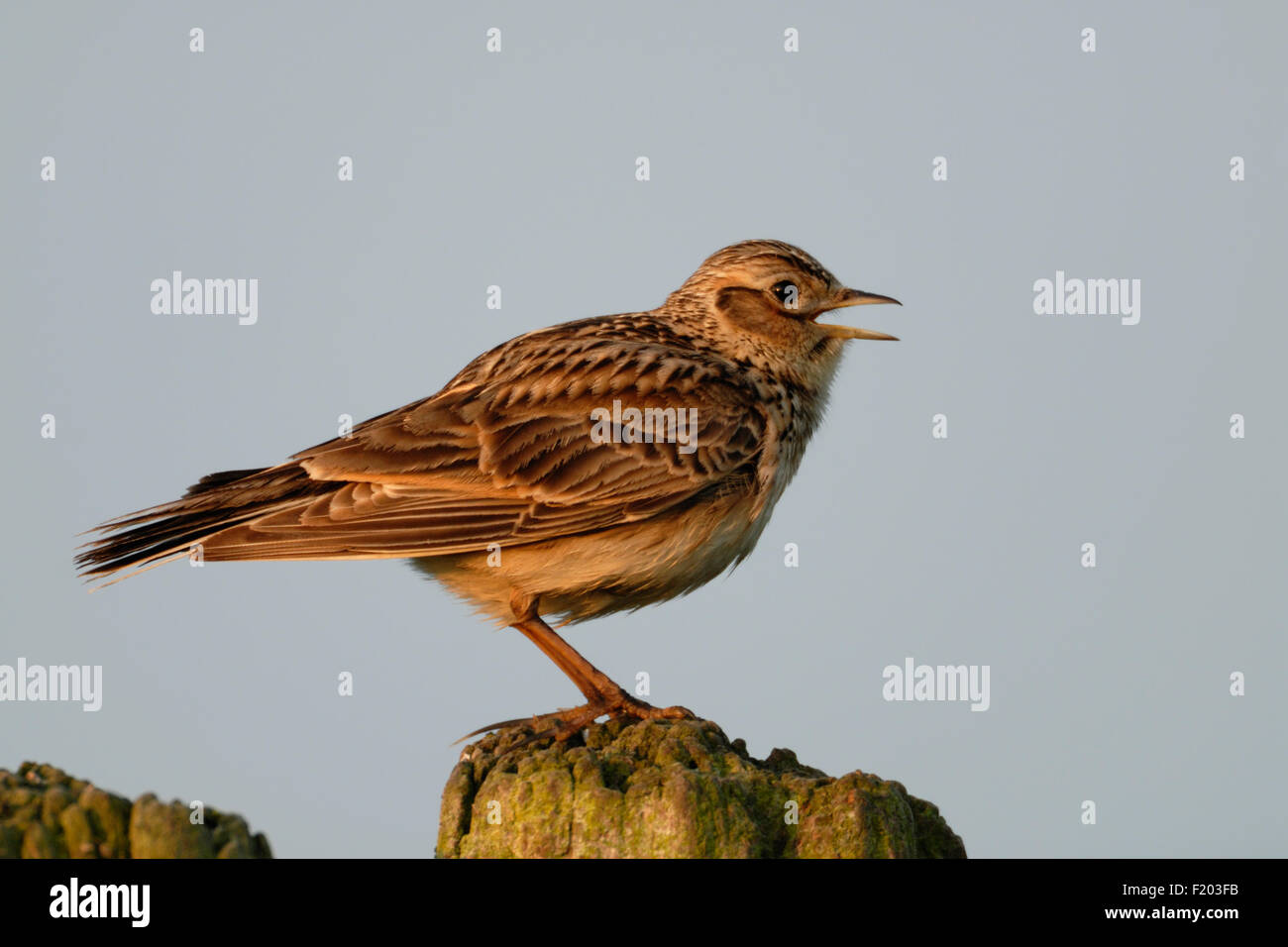 Alauda arvensis / Skylark / Feldlerche singing in first morning light. - Stock Image