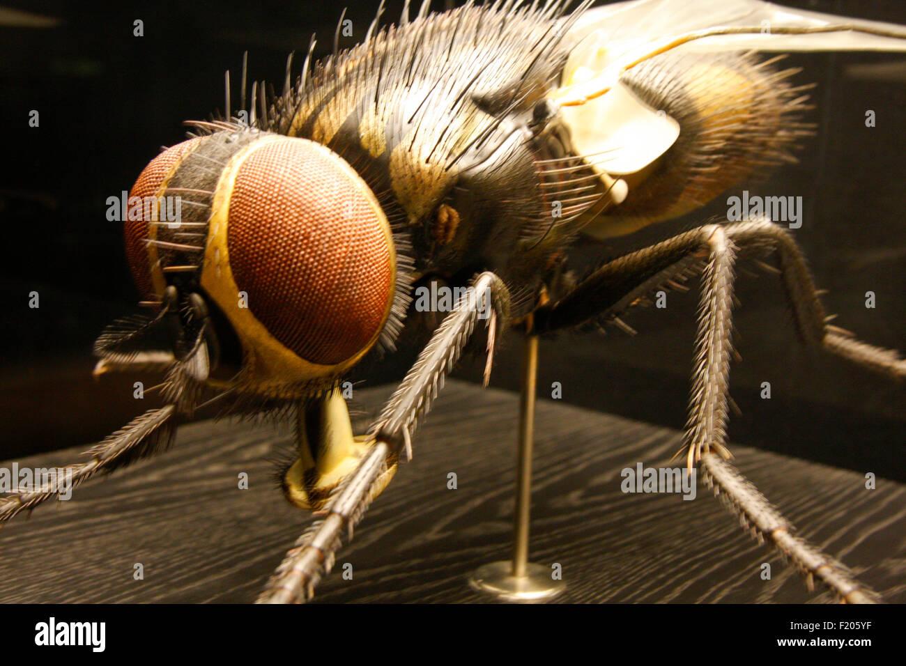 ein Modell einer Stubenfliege - Exponate im Naturhistorischen Museum, Berlin-Mitte. Stock Photo