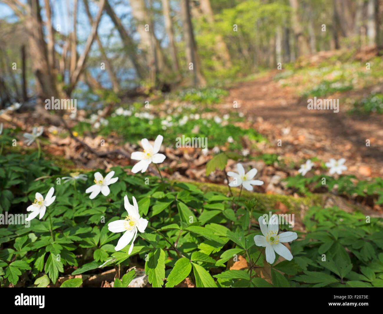 Buschwindröschen im Frühling - Stock Image