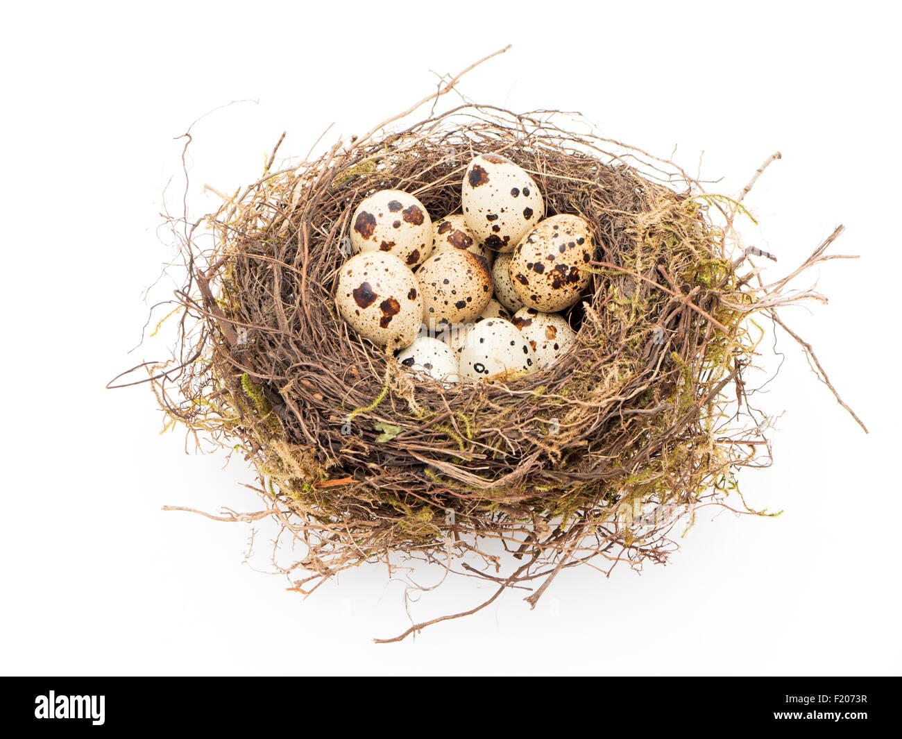 Nest mit Wachteleiern - Stock Image