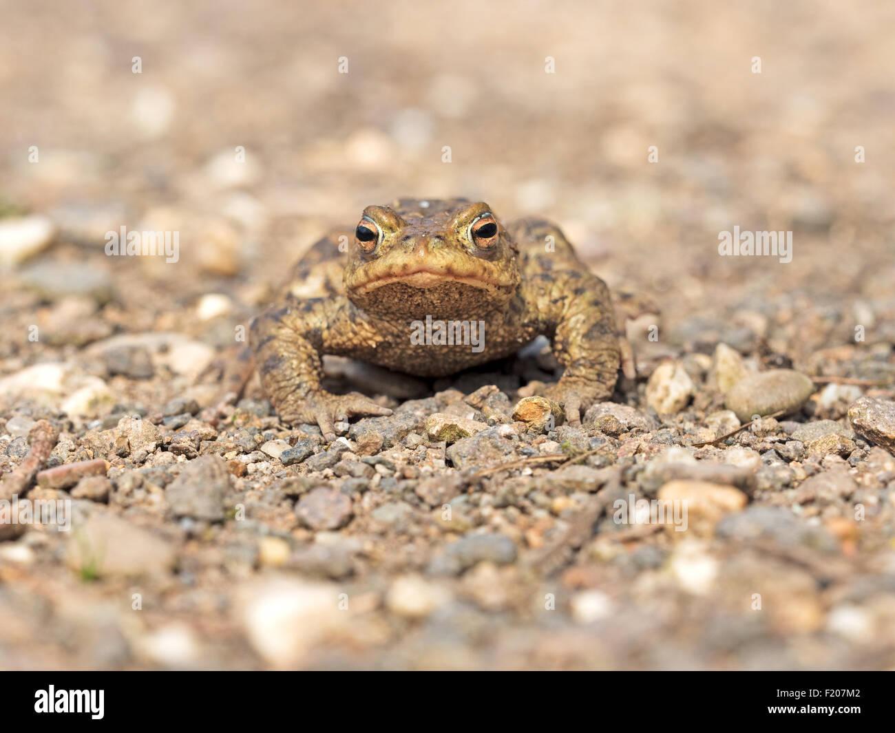 Erdkröte auf Kiesweg Stock Photo