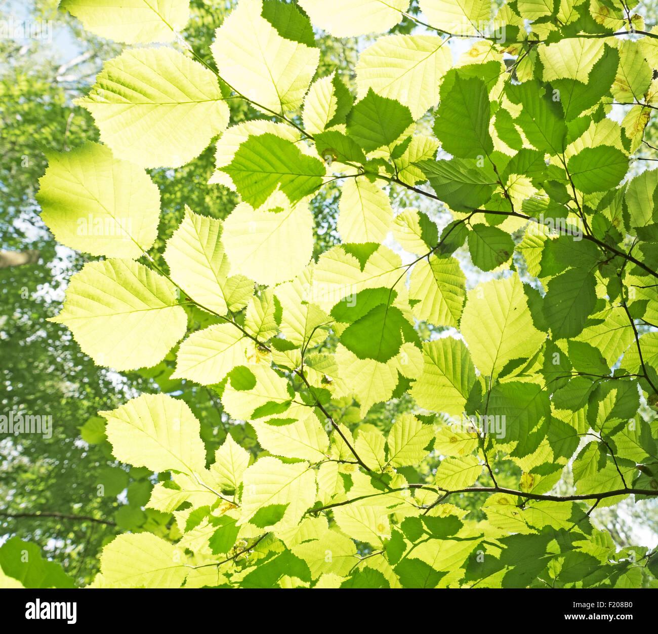 Blätter im Gegenlich Stock Photo