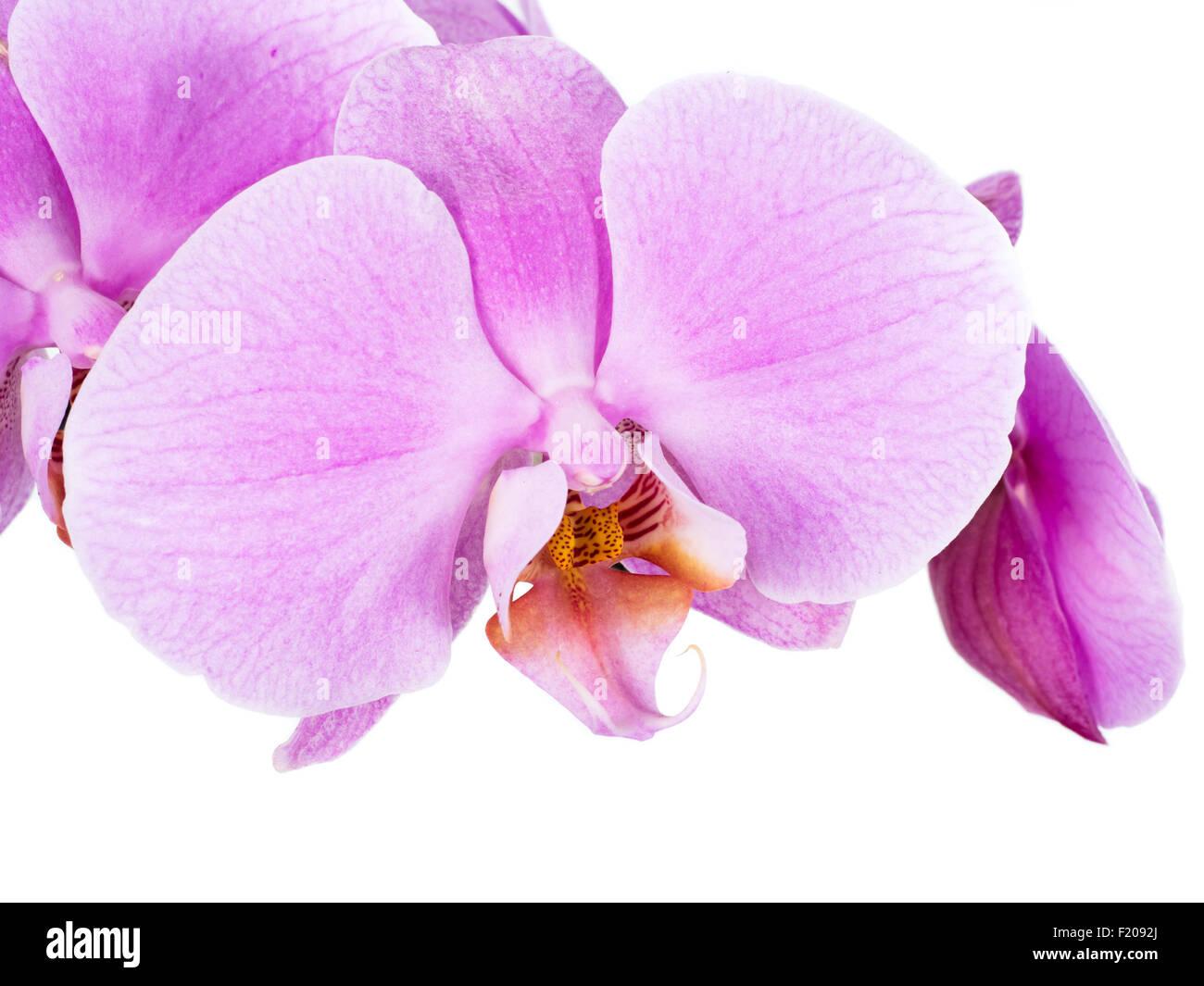 Orchidee - Stock Image
