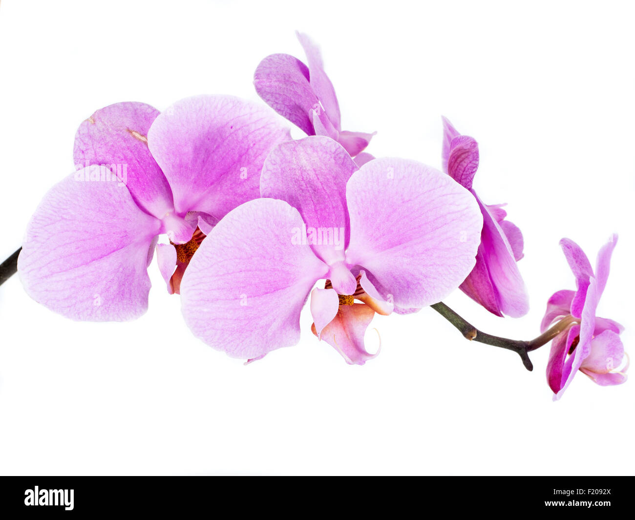 Orchidee - Stock Image