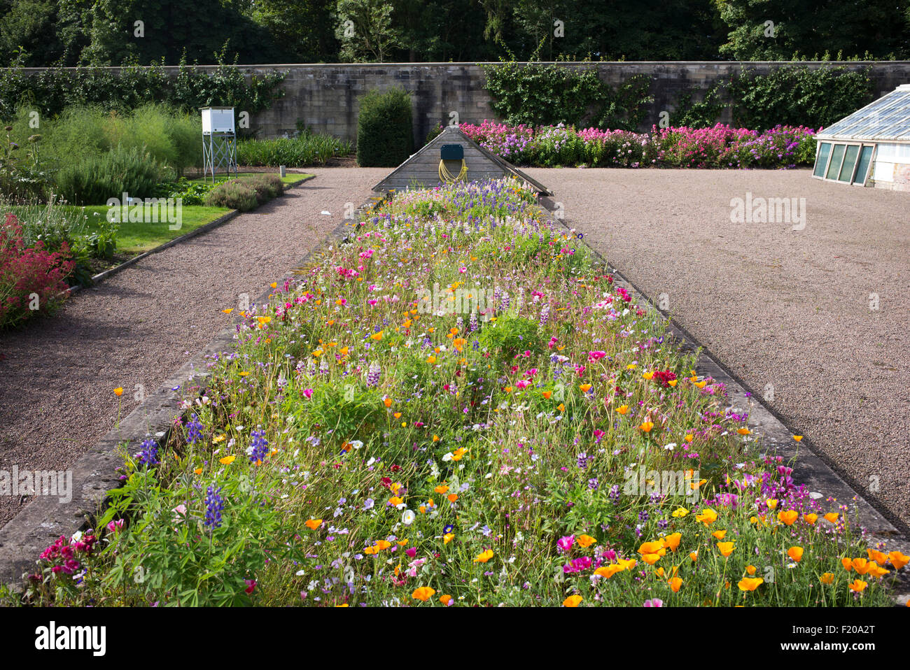 Wildflower bed inside the walled garden at Floors Castle walled gardens Kelso, Scotland - Stock Image