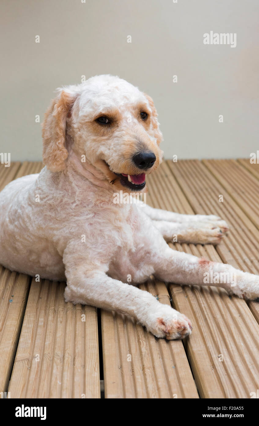 Recently groomed beige/white coloured Labradoodle lying on decking - Stock Image
