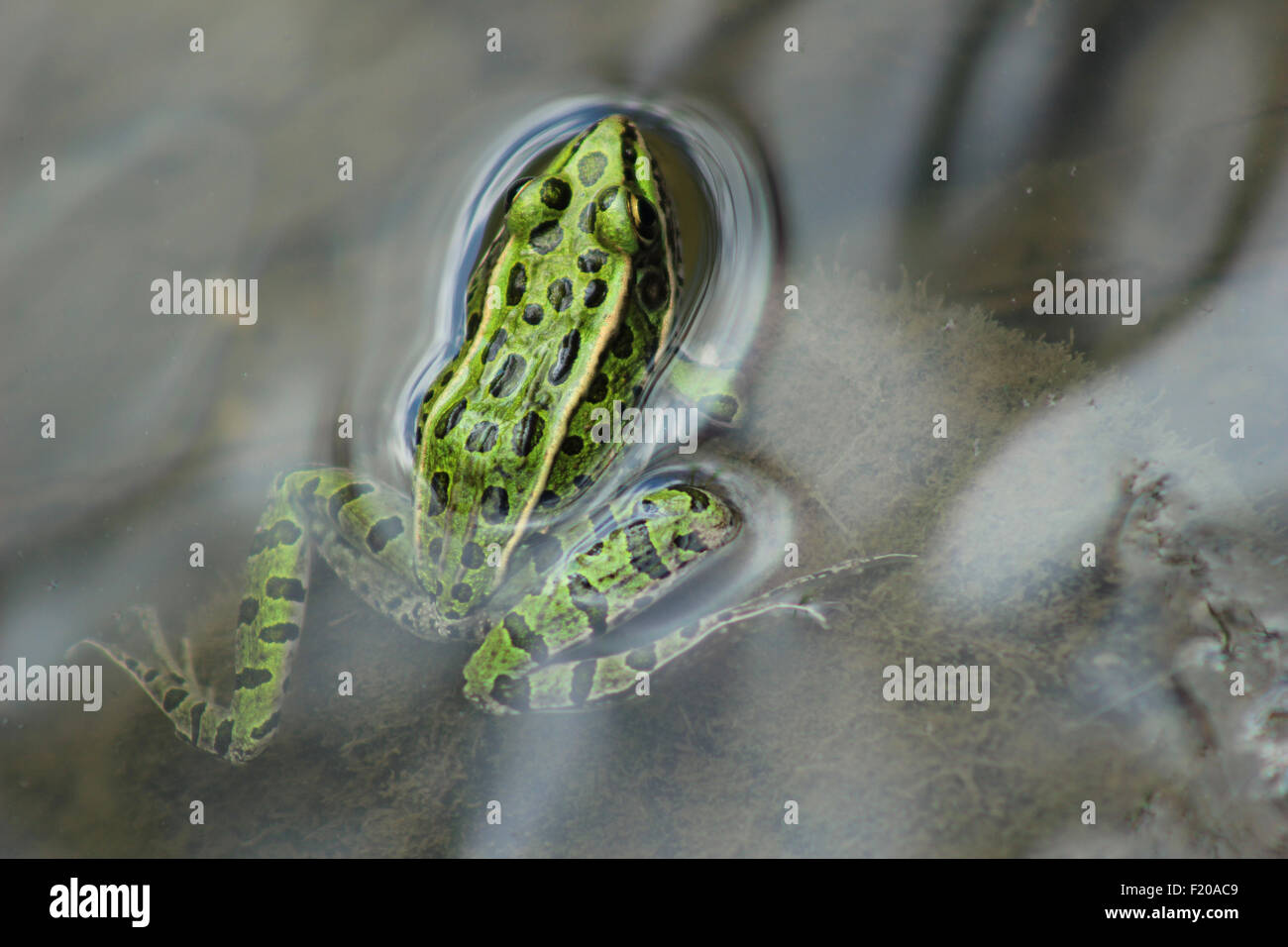 A frog in a marsh in Morden, Manitoba, Canada - Stock Image