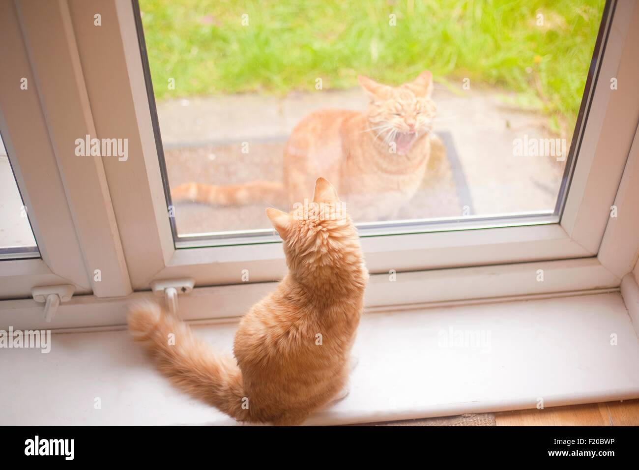 Ginger tom cat looking down from windowsill at another ginger tom cat in garden - Stock Image