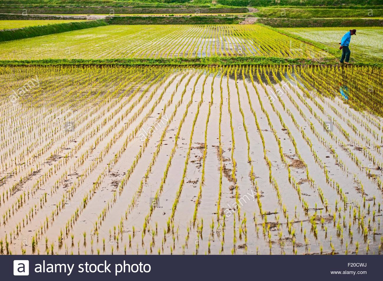 Rice field close to Seoraksan National Park, Gangwon, South Korea - Stock Image