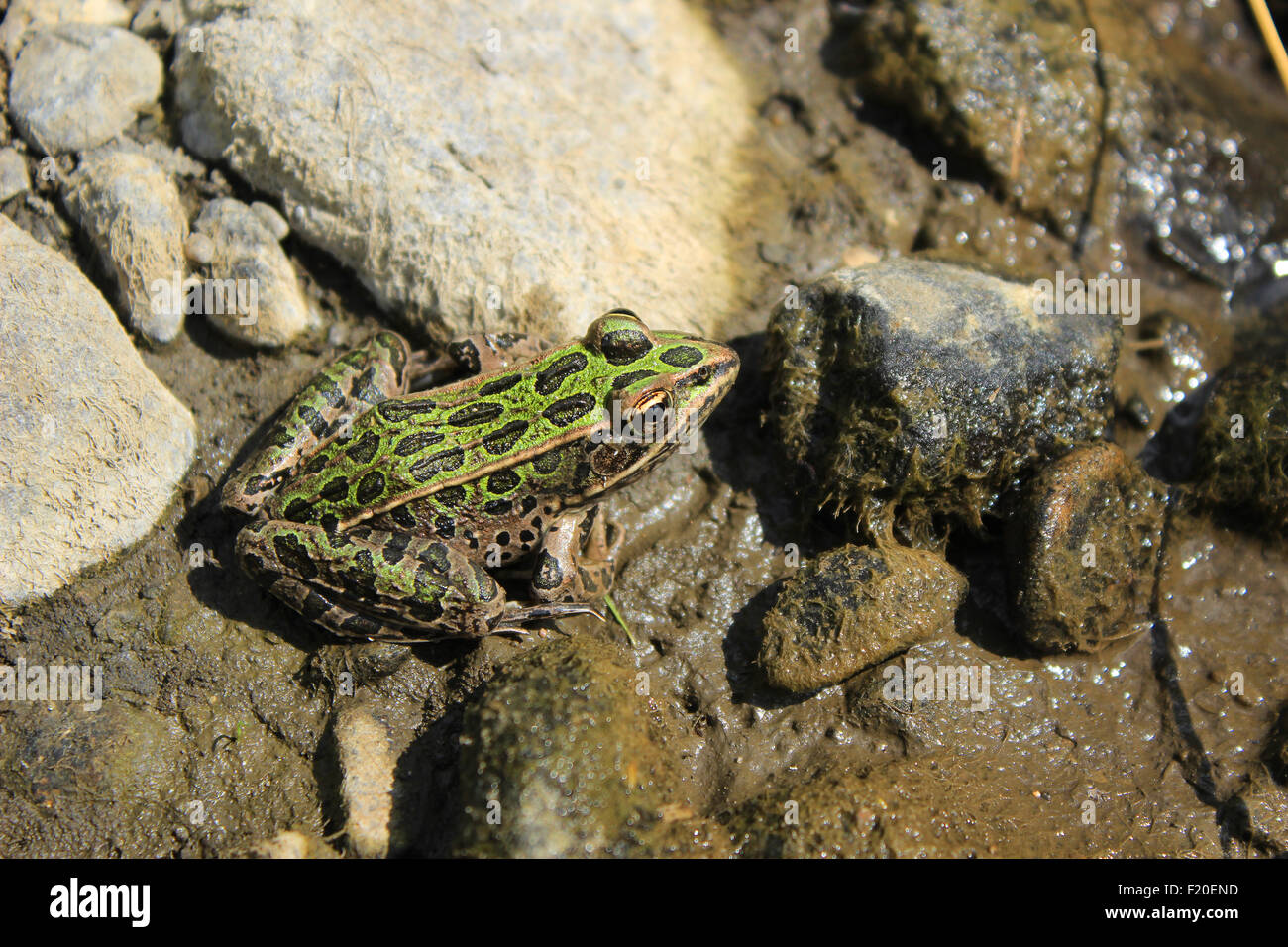 A frog in a marsh in Morden, Manitoba, Canada Stock Photo