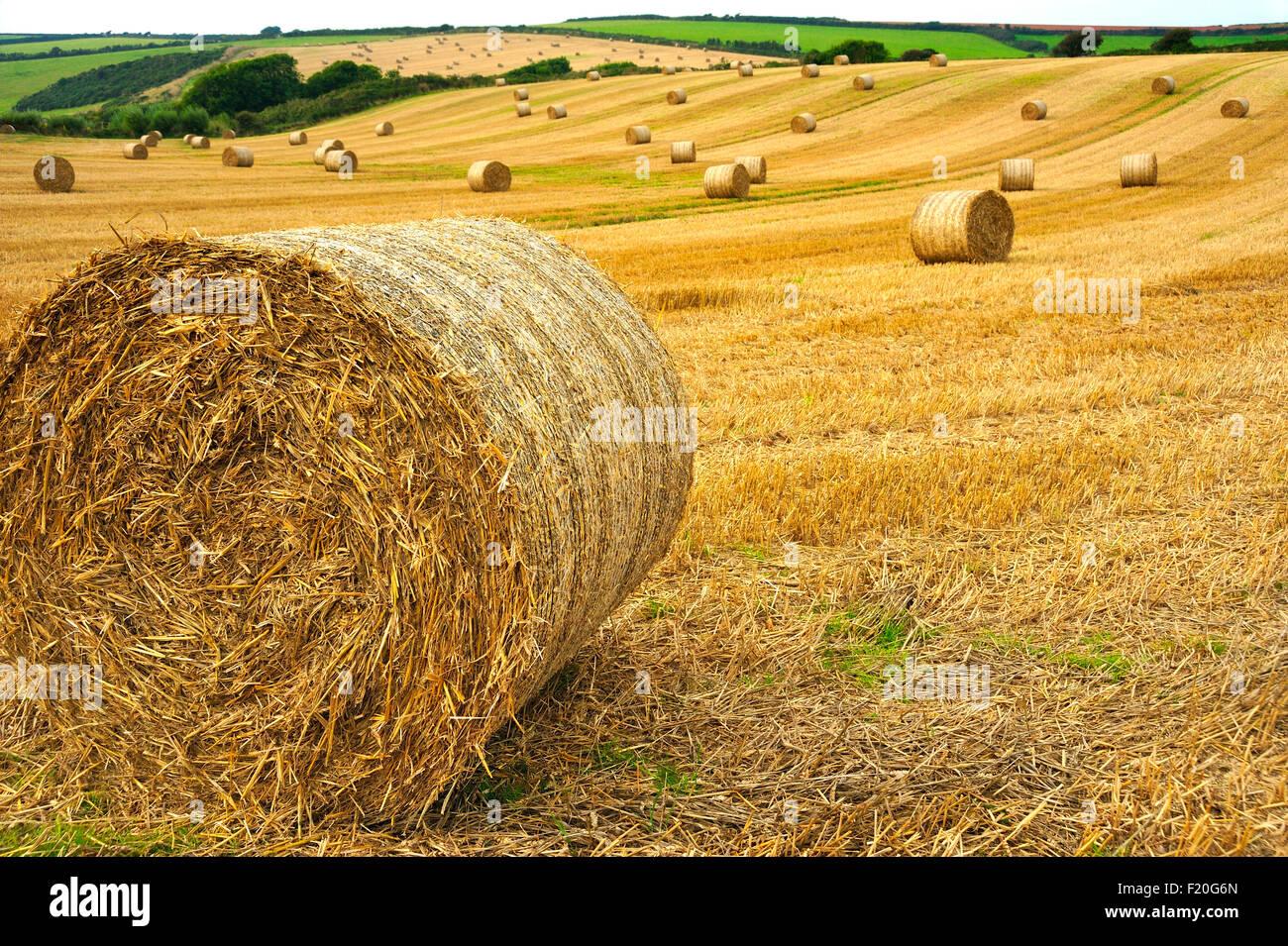STRAW BALES IN FIELD IN DEVON UK - Stock Image