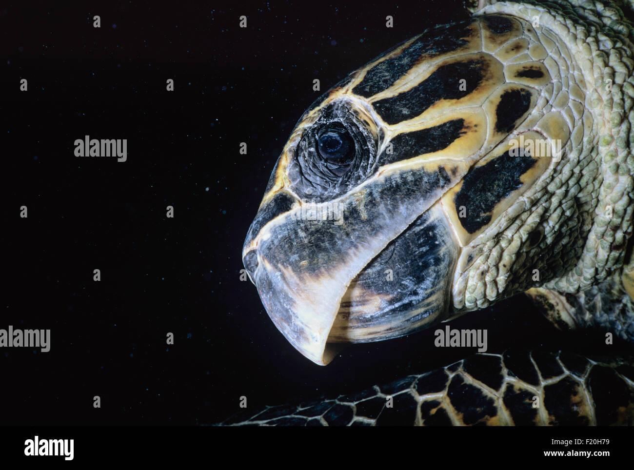 Endangered Hawksbill Turtle (Eretmochelys imbricata) swimming at night, Ras Mohammed, Egypt - Red Sea. - Stock Image