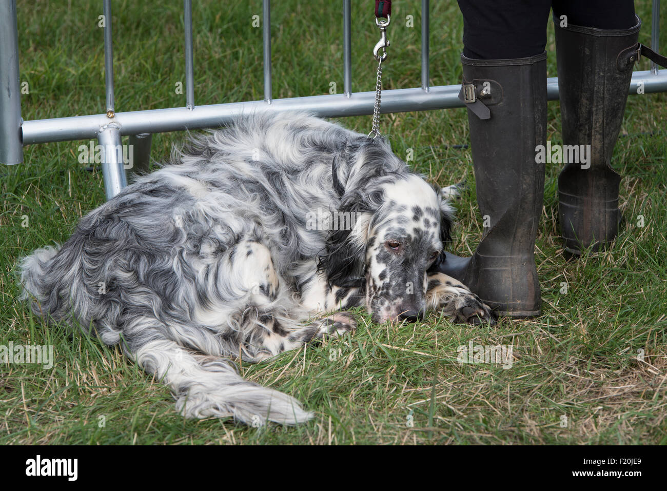 English Setter looking bored at Steam rally and Country fair Stow cum Quy Cambridgeshire England 2015 Stock Photo