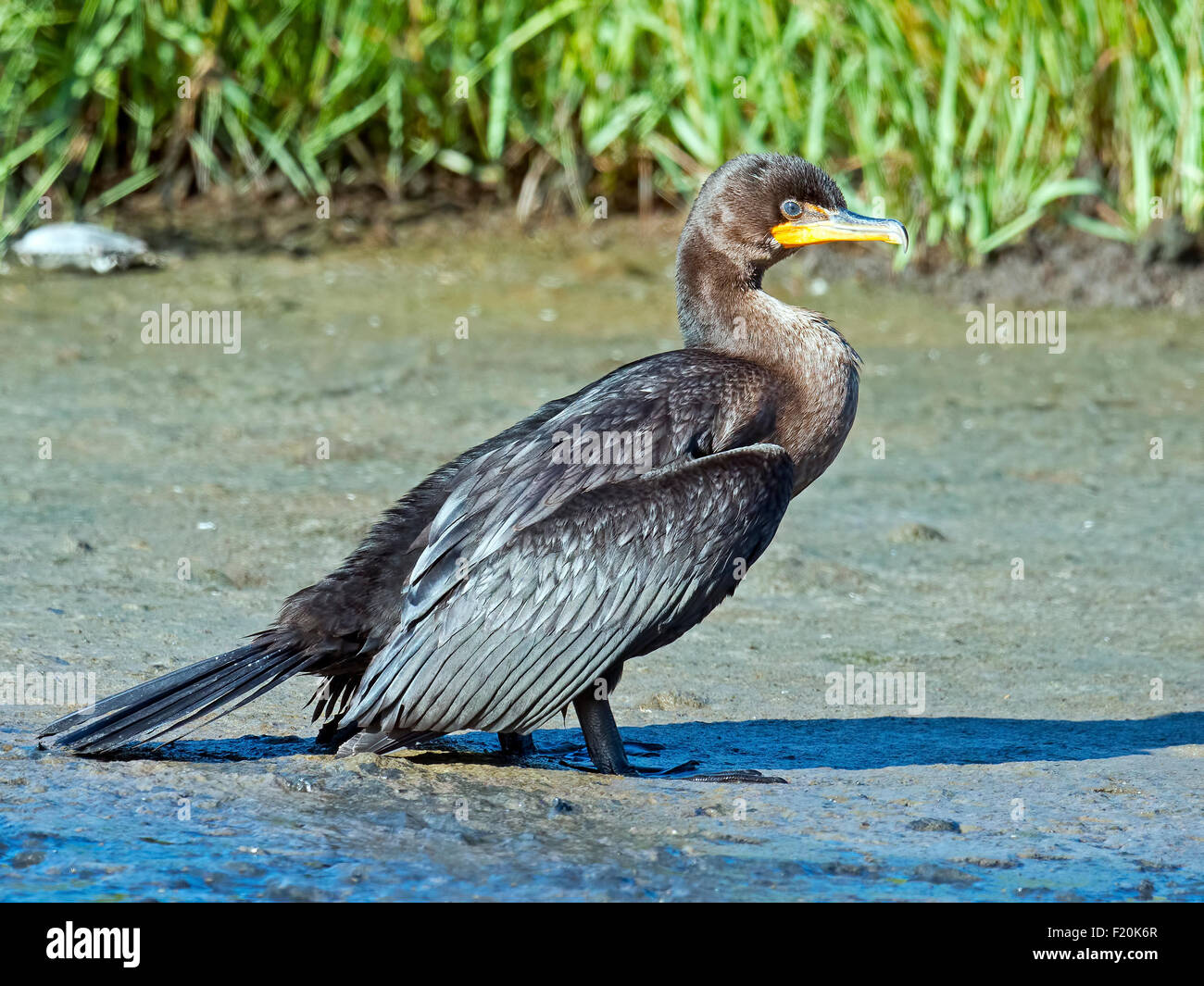 Double-crested Cormorant standing in the Marsh - Stock Image