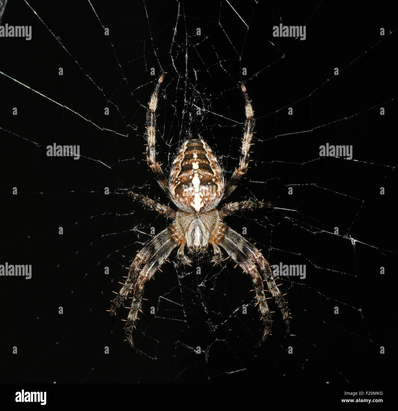 Spooky Halloween spider lying in wait on its web at night time .Close up macro image . - Stock Image