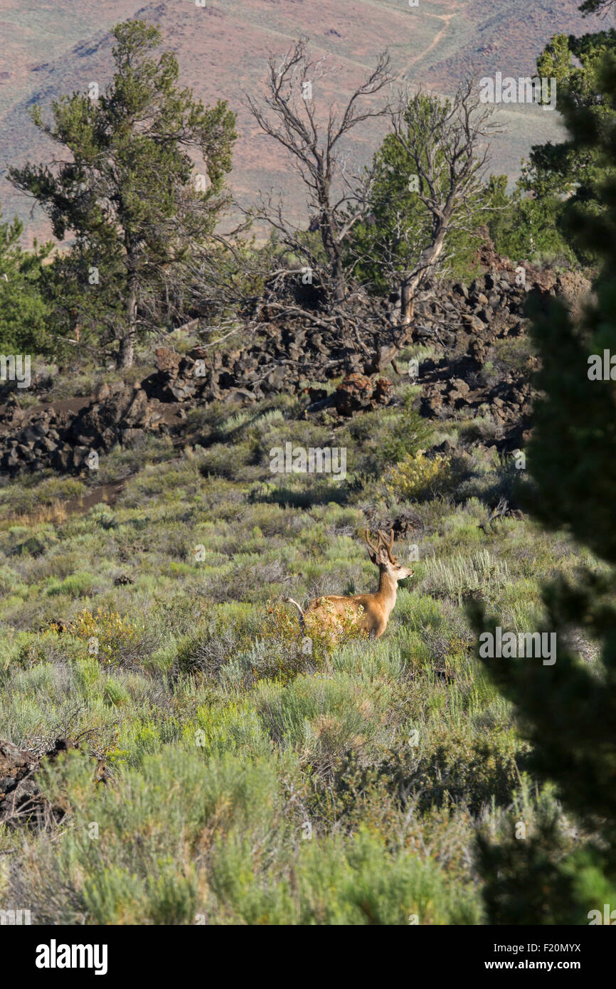 Arco, Idaho - Mule deer in Craters of the Moon National Monument. Stock Photo