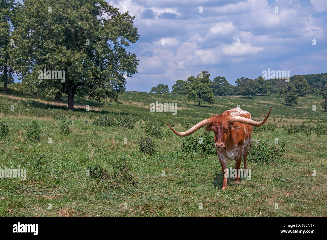 Longhorn cattle in meadow - Stock Image