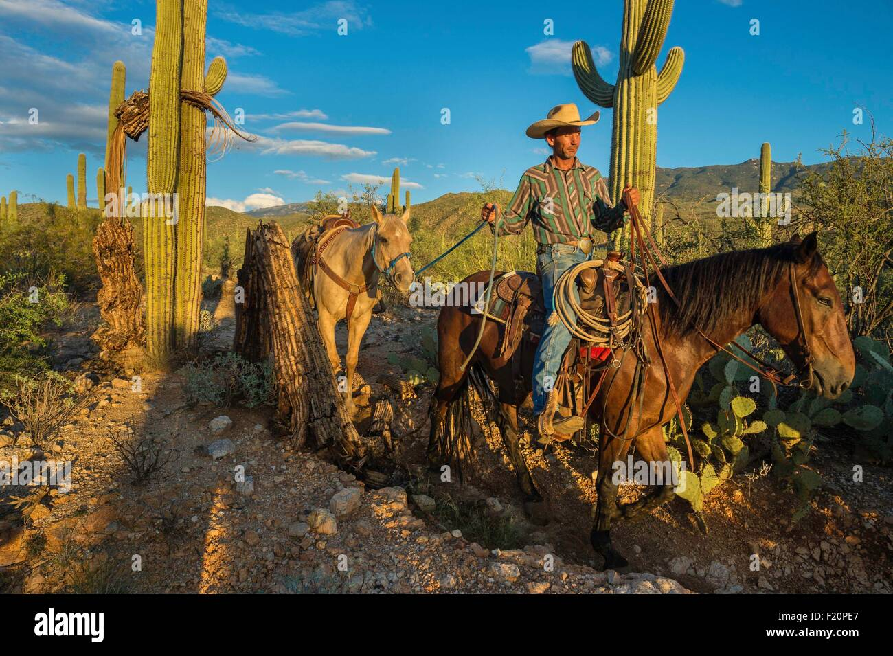 United States, Arizona, Tucson, Saguaro National Park, Tanque verde Ranch, horse hike in the middle of the desert - Stock Image