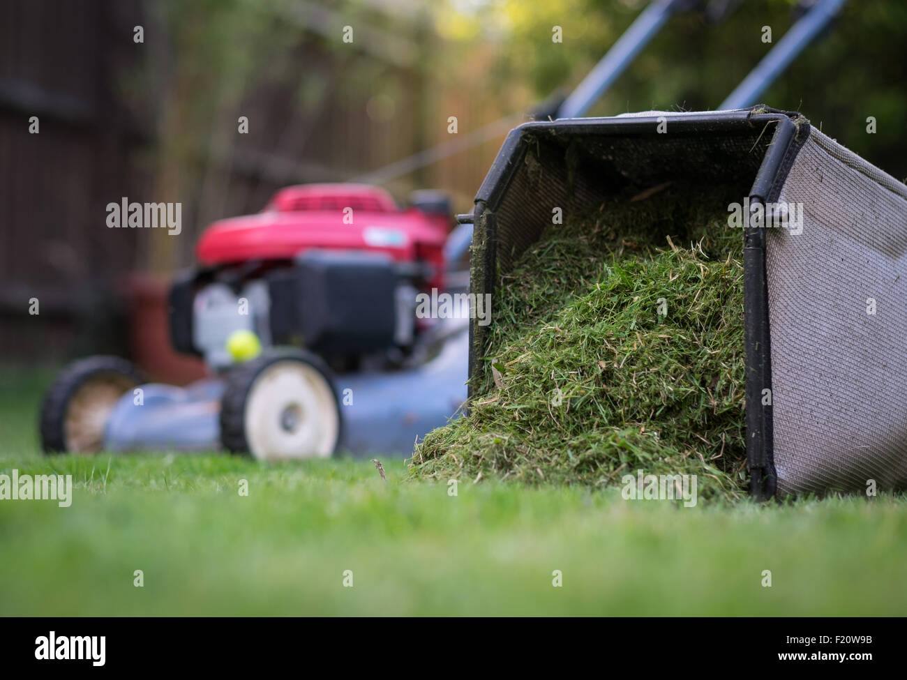 Grass cuttings from the lawnmower after cutting the grass - Stock Image