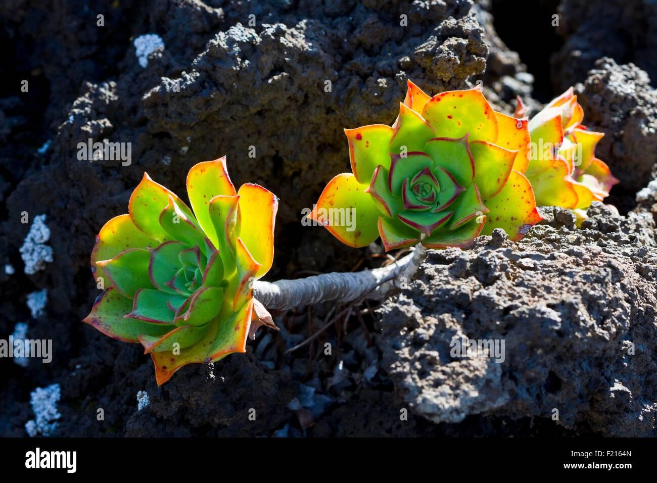 Spain, Canaries Islands, Lanzarote island, Aeonium Haworthii Kiwi in a field of lava - Stock Image