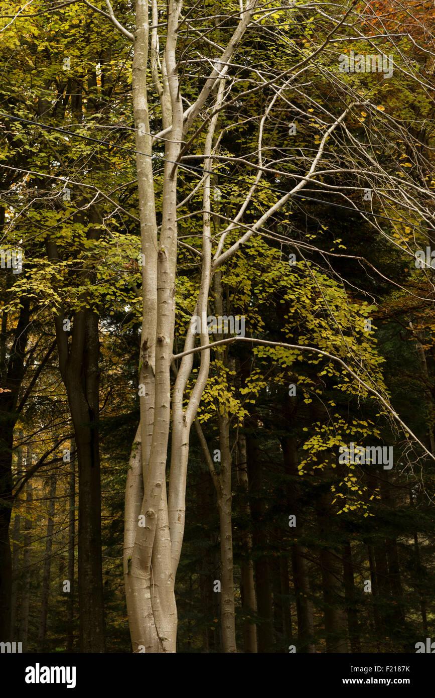 Leafless beech tree against birch grove, near Selkirk,Borders,Scotland,UK, Stock Photo
