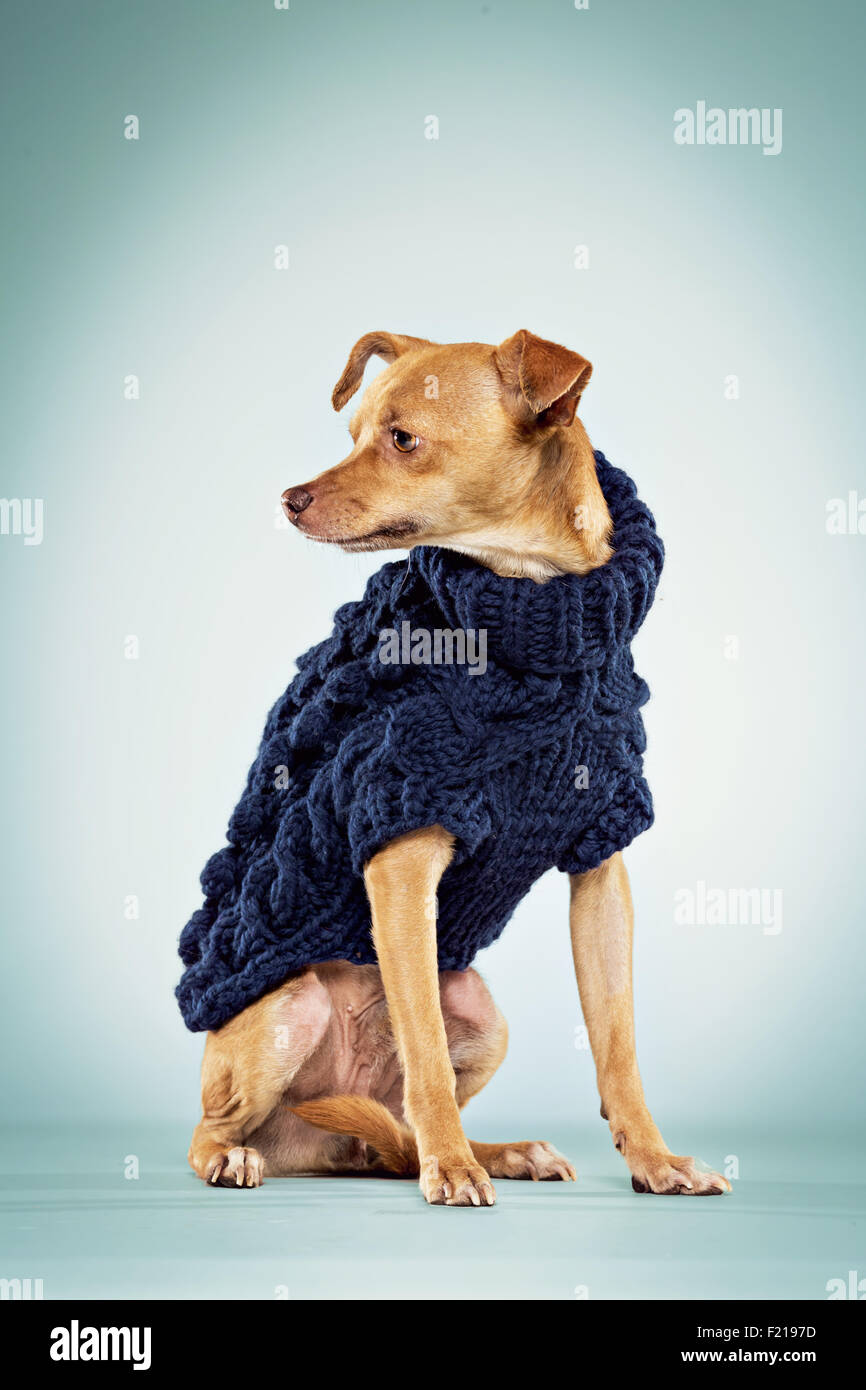 Male chihuahua dog in wool sweater on studio backdrop. - Stock Image