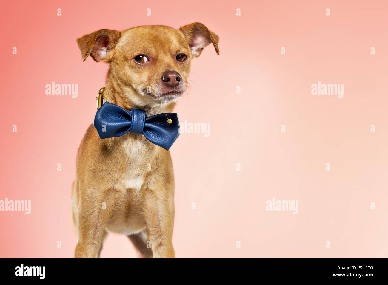 Dapper chihuahua dog in bow tie on studio backdrop. - Stock Image