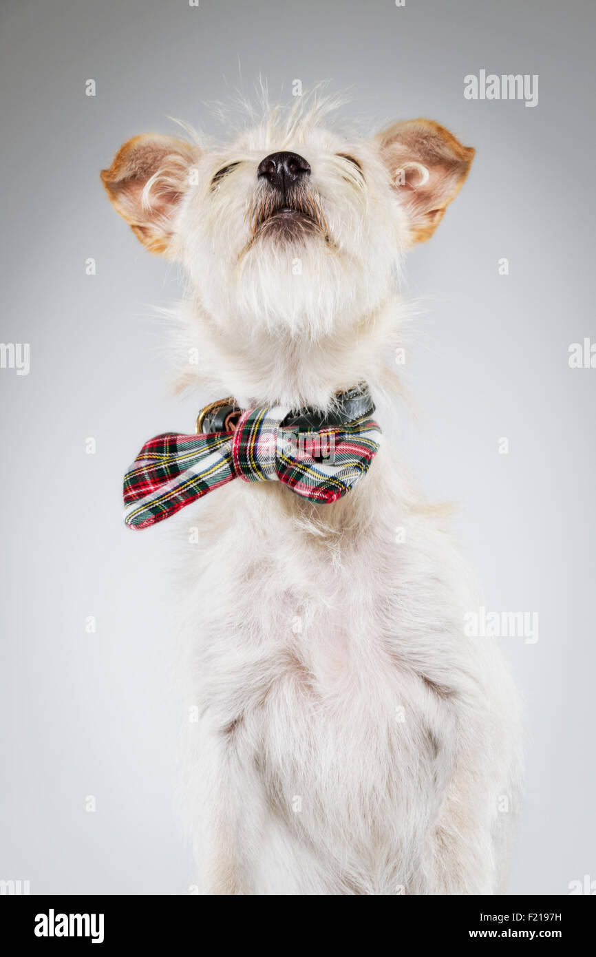 Small white dog in plaid bow tie looking upward. - Stock Image