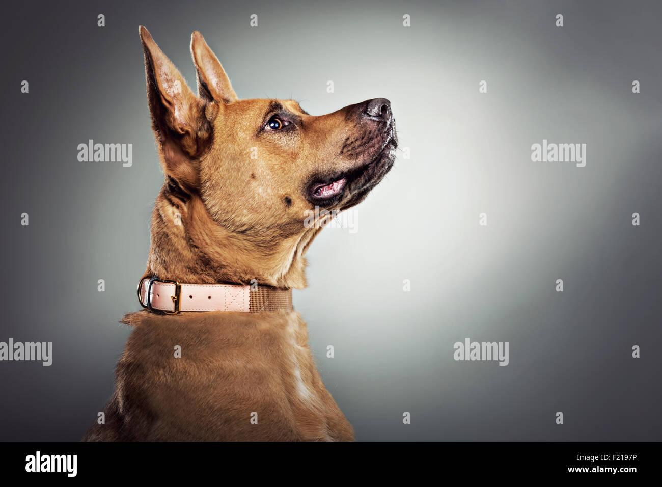 Profile of German shepherd dog in studio. Stock Photo